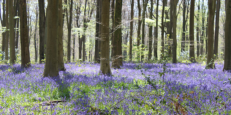 Bluebells in Savernake Forest next to Savernake Nursery